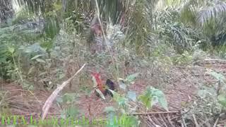 Bẫy gà rừng mới nhất 2018.Gà rừng mồi theo chủ vào rừng thể hiện bản lãnh