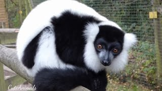 Lemur (Black-and-white-ruffed) / Varecia variegata-endangered