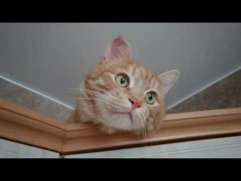 Наша кошка - кот Гоша,  курильский бобтейл 12+