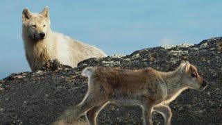 Arctic Fox Hunts Baby Caribou | Planet Earth II | BBC Earth