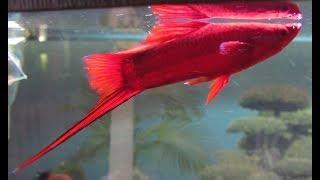 Купили много новых рыб и рака. Барбусы, меченосцы и другие