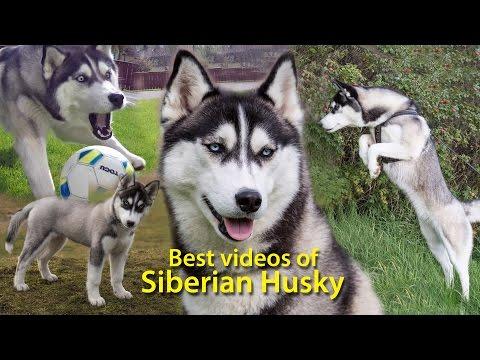 YouTube for Kids!  / Best videos of Siberian Husky  Lihkku