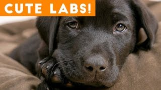 The Cutest Lab Compilation of 2018   Funny Pet Videos