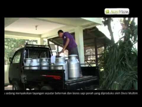 Video BETERNAK DAN BISNIS SAPI PERAH