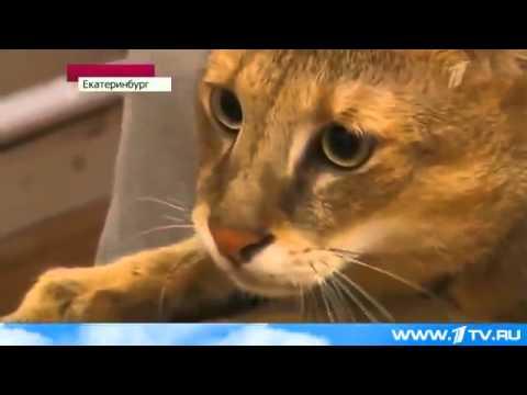 Камышовый кот живет в квартире