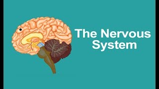 Class 5 Science | Human Nervous System, Parts, Diagram And Functions | Pearson