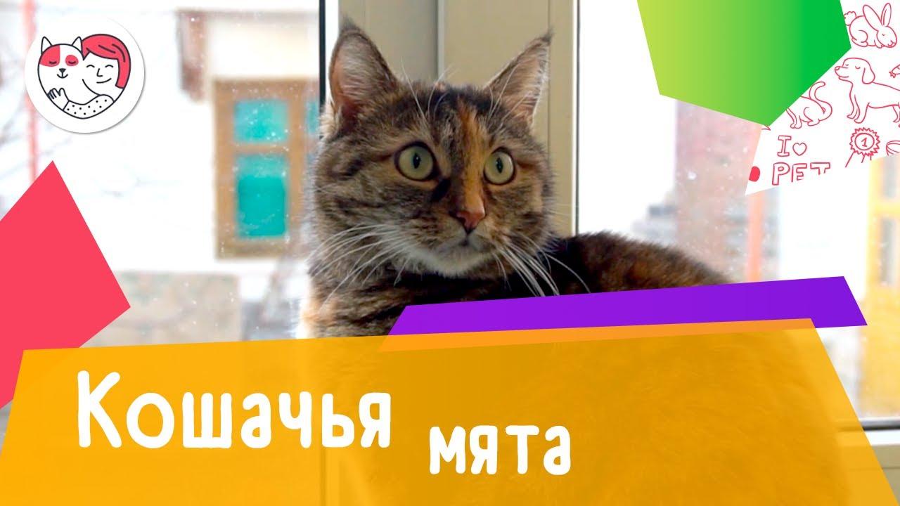 6 популярных вопросов о кошачьей мяте
