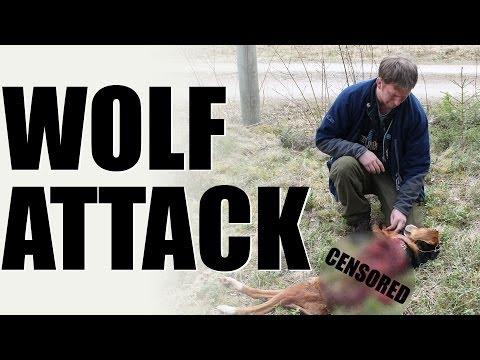 Fieldsports Britain – Wolf Attack