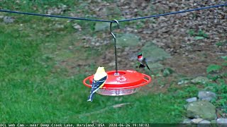 Goldfinch and Hummingbird Share a Feeder (06/26/2020)