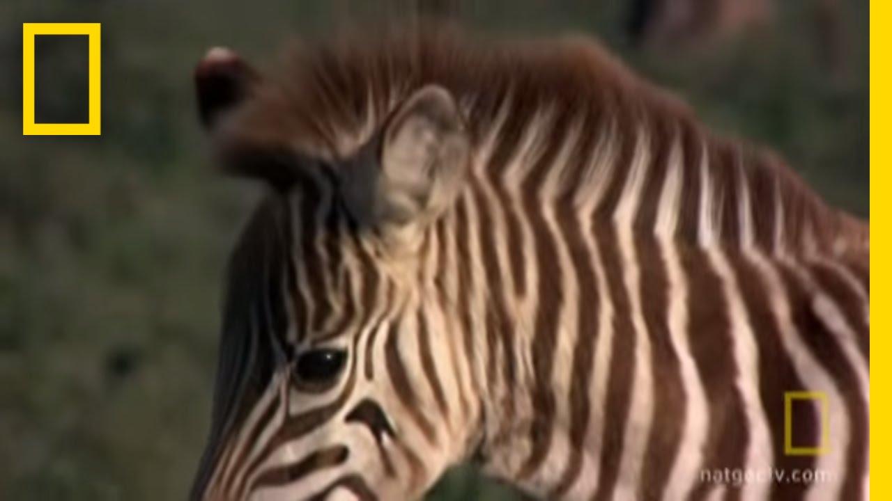 Wildebeest Death Trek | Great Migrations thumbnail