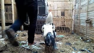 Cara Kawinkan Ayam Bangkok Biar Cepat Ngendog Mneh