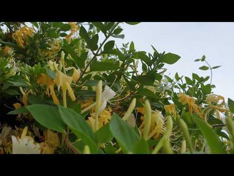 Pepenele galben este bun pentru vedere