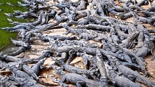 preview picture of video 'Croc Farm Ivato: 10,000 crocodiles ready to be turned into a kebab or handbag'