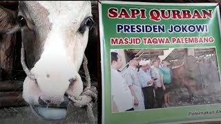 Beli Sapi Seharga RP 80 Juta, Walikota Palembang Siap Kurban di Lokasi Ini!
