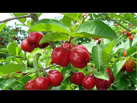 Os 13 Benefícios da Acerola Para Saúde , fruta medicinal !!