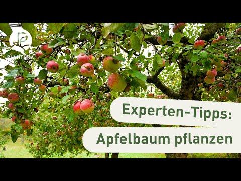 Apfelbaum pflanzen: Unsere Experten-Tipps (Anleitung)