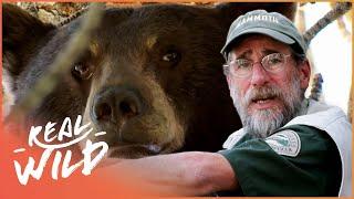Professional Bear Wrangler In Action | The Bear Whisperer | Real Wild