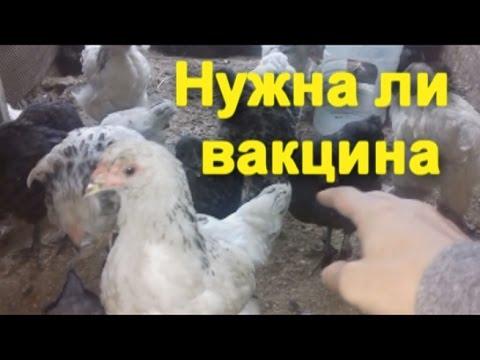 Овёс помогает от печени