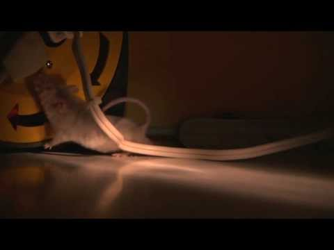 Video The Dangers of Mice and Rodents