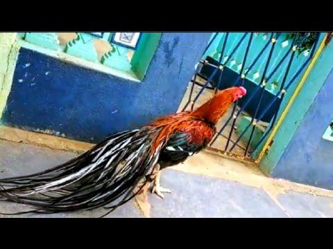 Parrot beak long tail aseel tiger murga - смотреть онлайн на