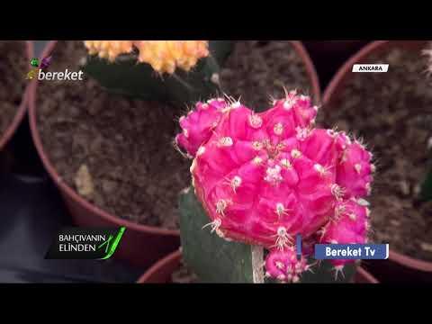 Bahçıvanın Elinden - Kaktüs Bitkilerinin Yetiştiriciliği
