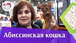 Абиссинская кошка Характер на  Кэтсбург 17 ilikepet