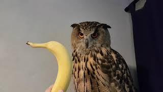 Eagle-Owl Yoll and Banana.