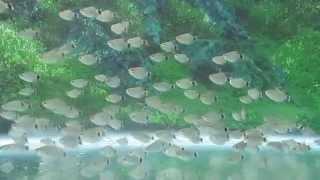 Cá thủy sinh bơi theo đàn