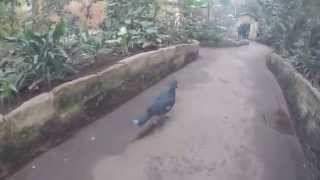 preview picture of video 'Chester Zoo fun day out - Fun in the sun with Go Pro'