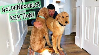 Goldendoodles REACT To Dad Coming HOME