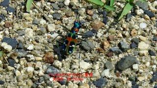 HD昆虫ハンミョウ:コミスジ:ツマグロヒョウモン♪せせらぎ