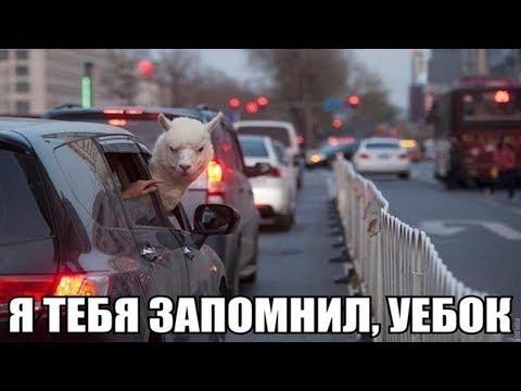 Ржачные мемы ! Агрессивная Лама угрожает водителям на дороге !