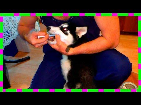 Как вывести Глистов у Собаки