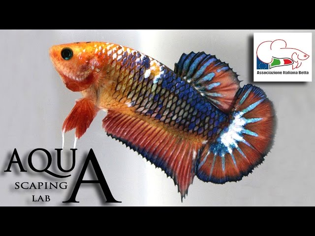 Betta Splendens Contest Show Petsfestival (AIB & Bettas4all) by Aquascaping Lab PARTE 3