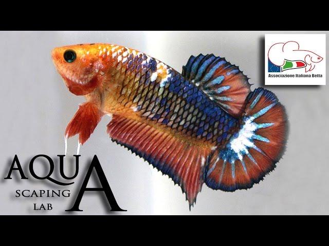 Betta Splendens Contest Show Petsfestival (AIB & Bettas4all) by Aquascaping Lab PARTE 3