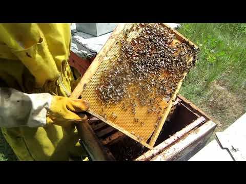 Пчеловодство. Глобальный сдвиг главного медосбора.Быстрая проверка молодой пчеломатки в отводке.
