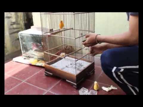 Video Cara merawat burung kenari