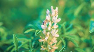 Weiße Lupine: Tipps & Infos zum Anbau