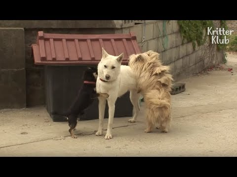 Download Two Boy Dogs Fight Over A Beautiful Girl Dog | Kritter Klub HD Mp4 3GP Video and MP3
