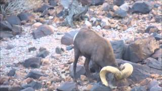How to Field Judge and Score Desert Bighorn Sheep by Colburn and Scott Outfitters