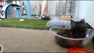Tiny Kittens Shelly hopes Caly will nurse new orphaned kitten - Video Youtube