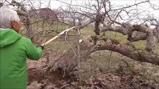 りんごの剪定(成り枝更新剪定~60年超の老木維持)2018