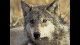 Gray Wolf Could Soon Be Off The Endangered Species List