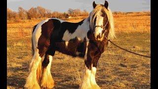 Gypsy Vanner Stallion for Sale