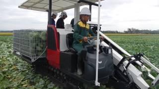YANMAR | Cabbage Harvester