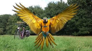 Blue and Gold Macaw free flight   ( www.RIP-Rambo.be shot down by a hunter)