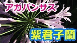 愛の花・アガパンサス紫君子蘭の美しい花姿