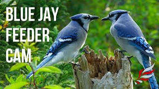 Blue Jays at Evening Collecting Peanuts | Relax With Nature