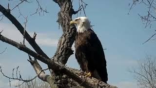 Decorah Eagles Mom and UME defending nest together 05 06 2018