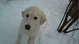 preview picture of video '2013-03-03 Kessie in der Welpenschule (golden retriever puppy at school)'